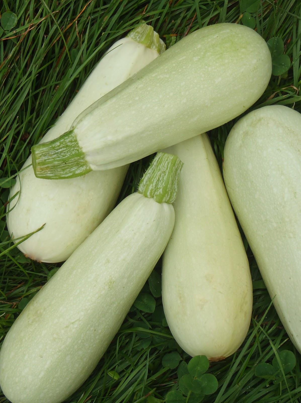 Courges potager ornemental de catherine - Feuille de courgette blanche ...