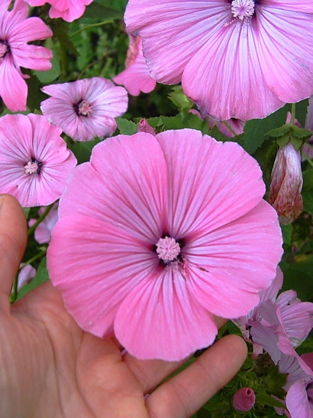 Fleurs potager ornemental de catherine - Semer roses tremieres septembre ...