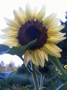 tournesol jaune pâle