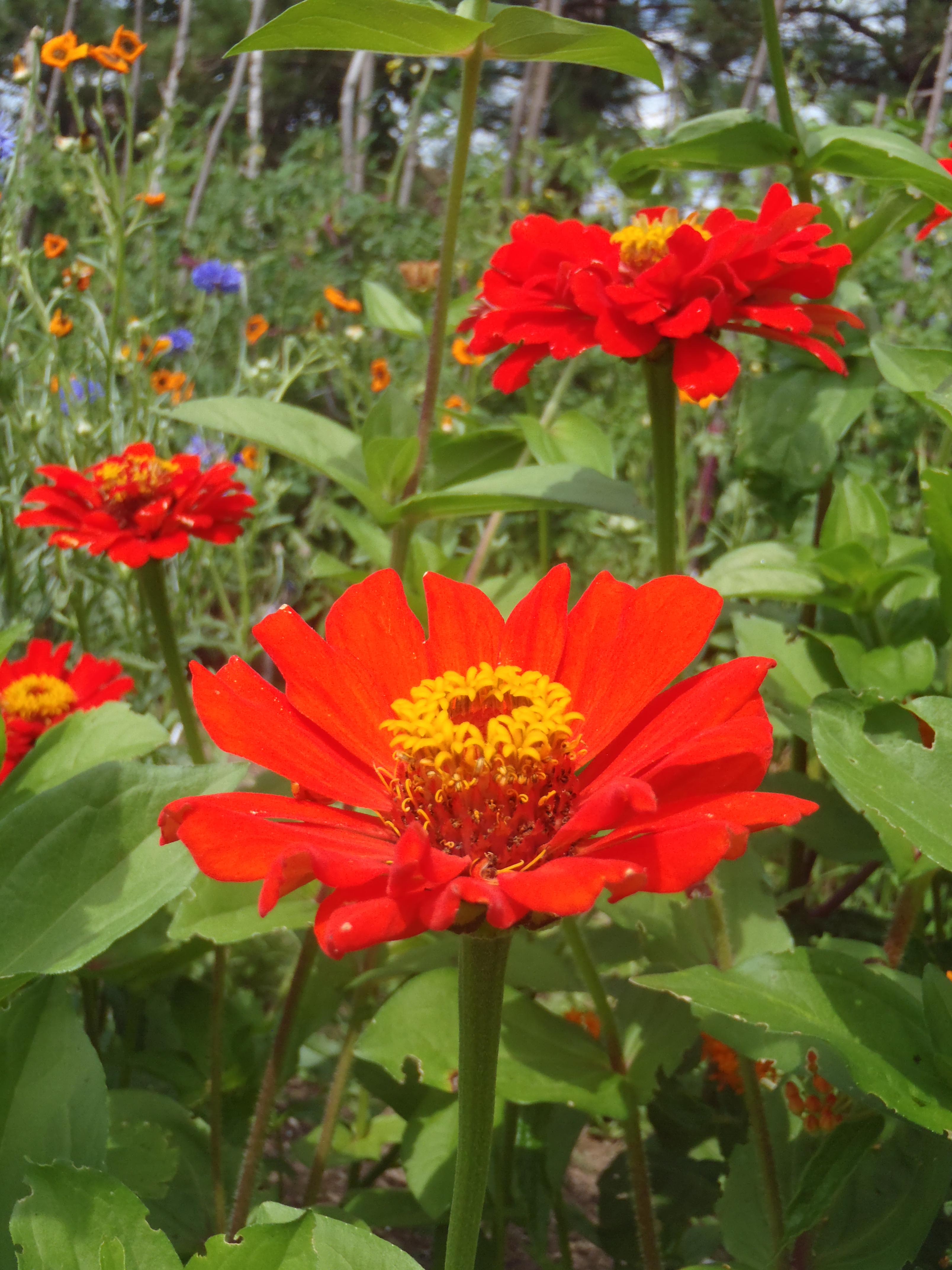 Attire les colibris potager ornemental de catherine - Fleurs d ete plein soleil ...