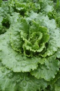 semences Laitue batavia Chou de Naples, Webb's Wonderful lettuce seeds