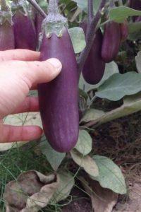 Semences Aubergine Slim Jim Solanum melongena Eggplant seeds