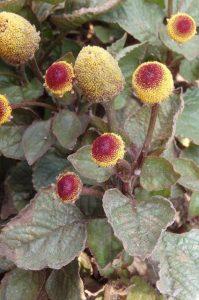 semences Cresson du Brésil seeds Acmella oleracea, brèdes mafane
