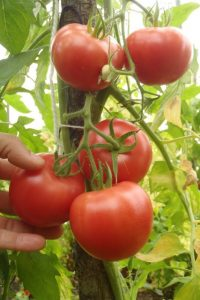 canebec, 14 sep, semis direct 1 juin