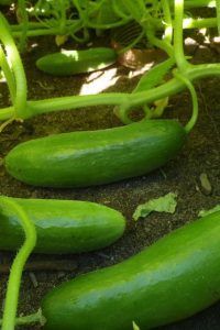 semences concombre Muncher cucumber seed