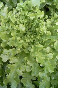 semences Laitue Feuille de chêne verte 'Green oak Leaf' lettuce seeds