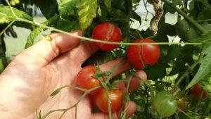tomates cerise craquées