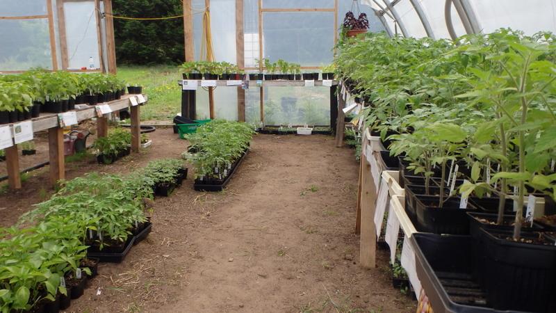 plants de tomates, poivrons etc.  À vendre, mai 2015