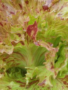 semences laitue Jester lettuce seeds