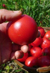 Tomate Maskabec
