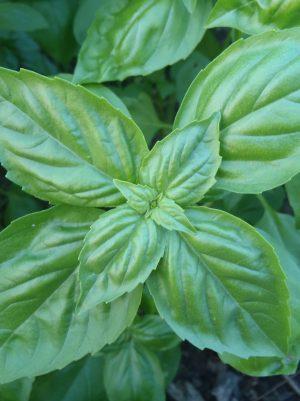 Basilic Italian large Leaf