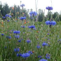 Centaurée bleue