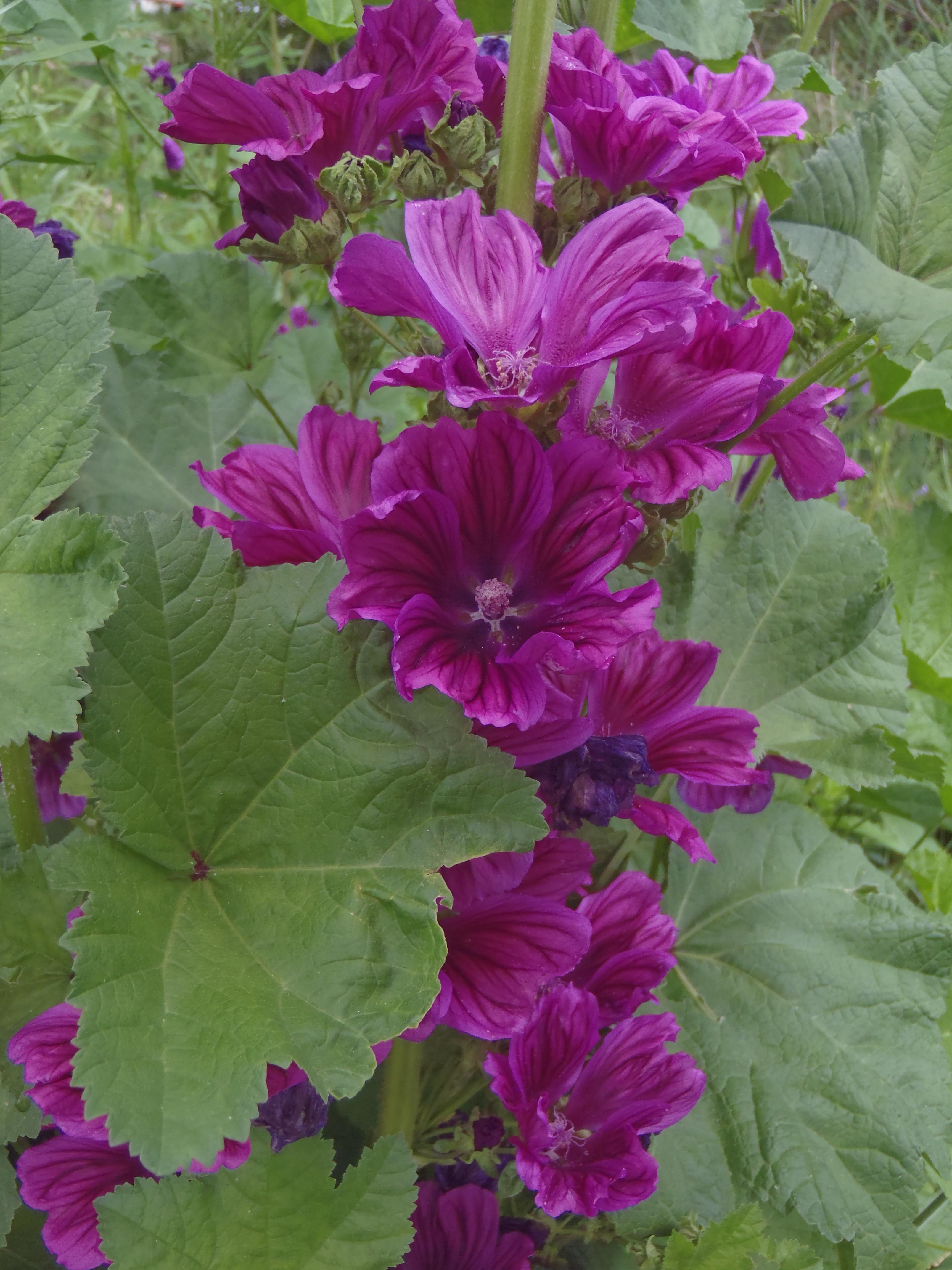 La mauve calme les irritations - Plantes et Santé