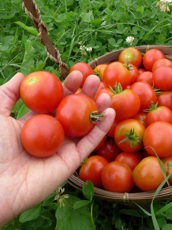 Tomate latah le potager ornemental de catherine - Quand repiquer les tomates ...