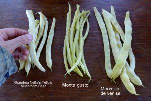 Ccomparaisons de haricots grimpants, Grandma Nellie's Yellow Mushroom bean, Monte gusto et Merveille de Venise