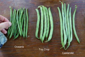 Comparaisons de haricots nains, Oceanis, Top Crop et Castandel