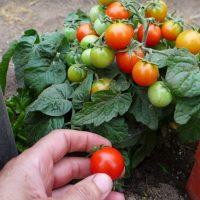 Semences micro tomate Birdie rouge