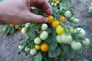 Micro tomate Pinocchio
