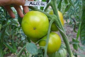 Semences Tomate verte Malachite box green tomato seeds