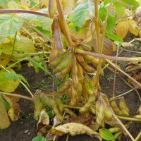 semences de Soya Fiskeby, soybean seeds
