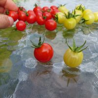 semences de tomates Petit moineau et coyote