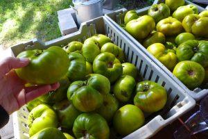 Récolte de tomates vertes Malachite box